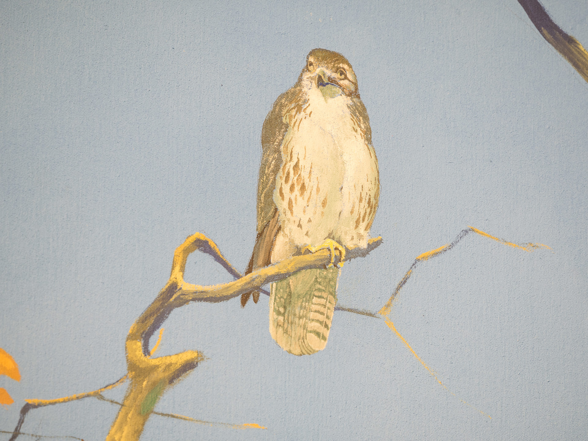 red-tailed hawk perched on a limb