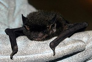 Silver-haired bat in a gloved hand