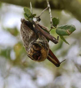 Hoary bat hanging from a tree