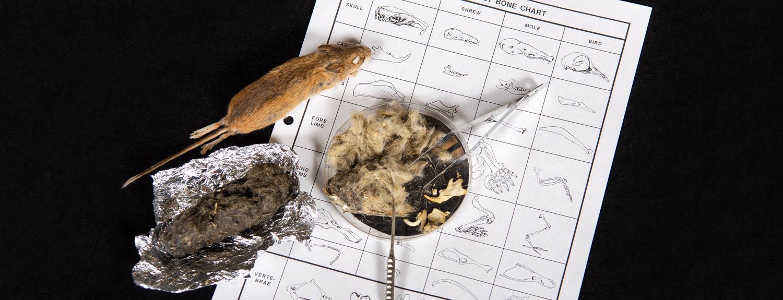 Owl pellet dissection in progress