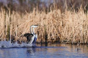 Two Western Grebes displaying courtship in prairie wetland