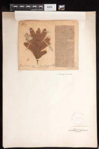Herbarium sheet with pressed Oak leaf
