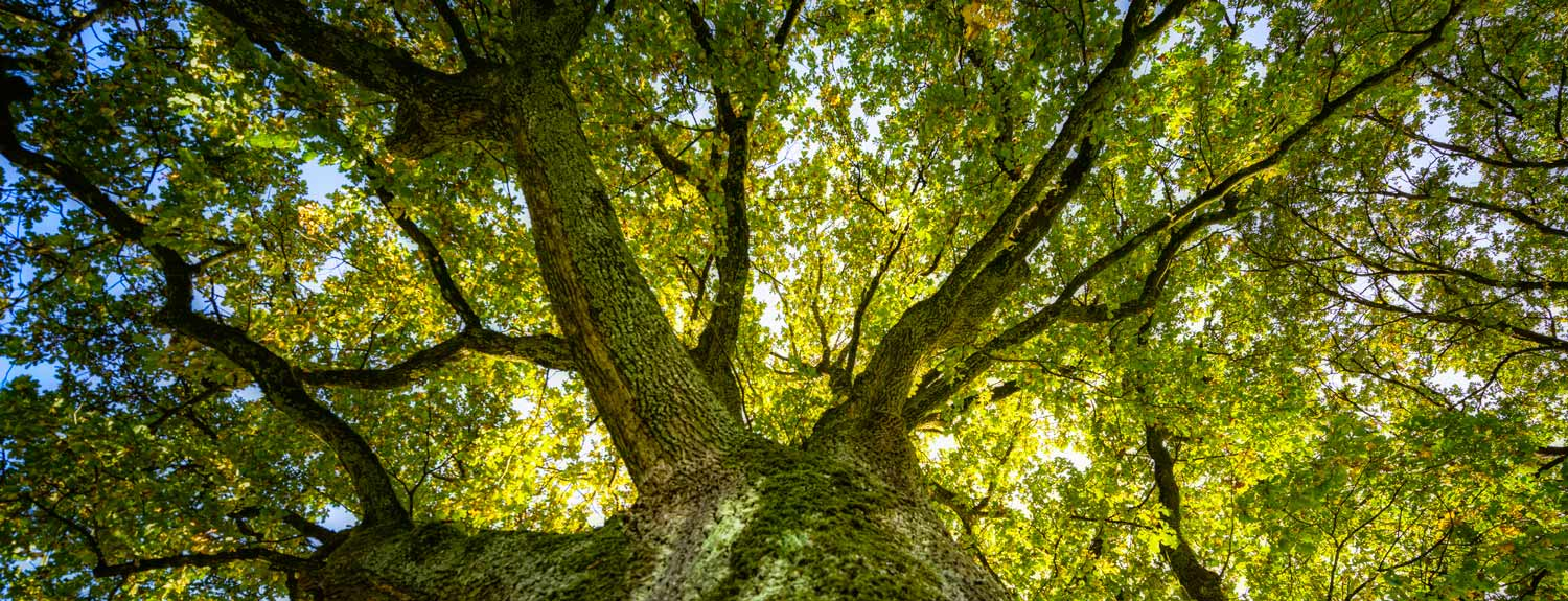 Oak tree branches with leaves