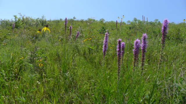 blazing star plant featured on amongst other plants at Lost Valley Prairie