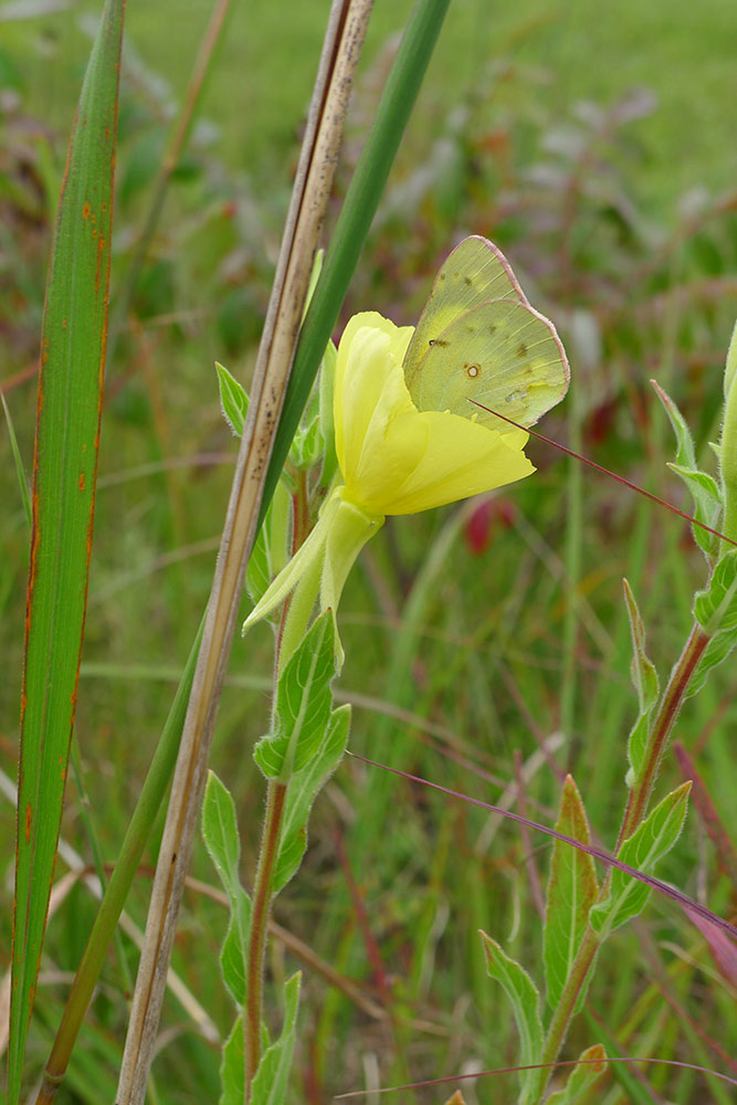 pale yellow sulphur butterfly on yellow evening primrose