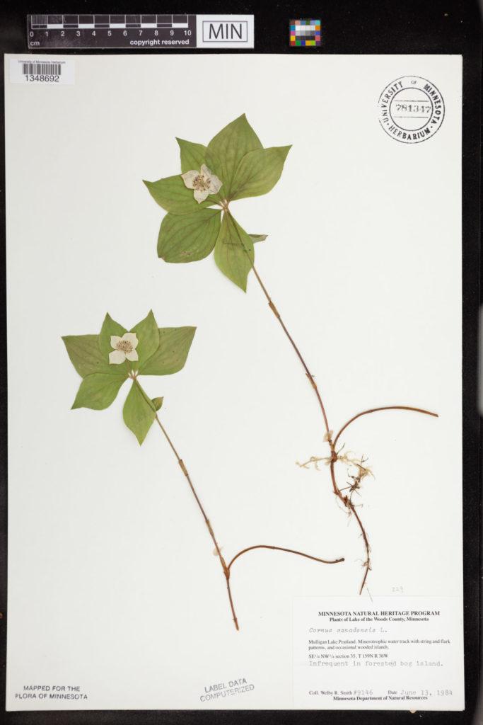 Cornus canadensis specimen