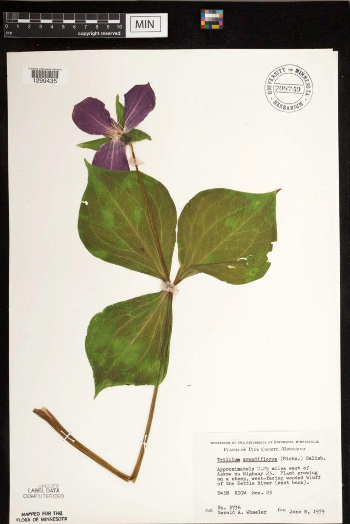 Large-Flowered Trillium specimen