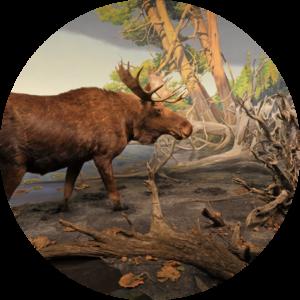 Moose at Gunflint Lake Diorama