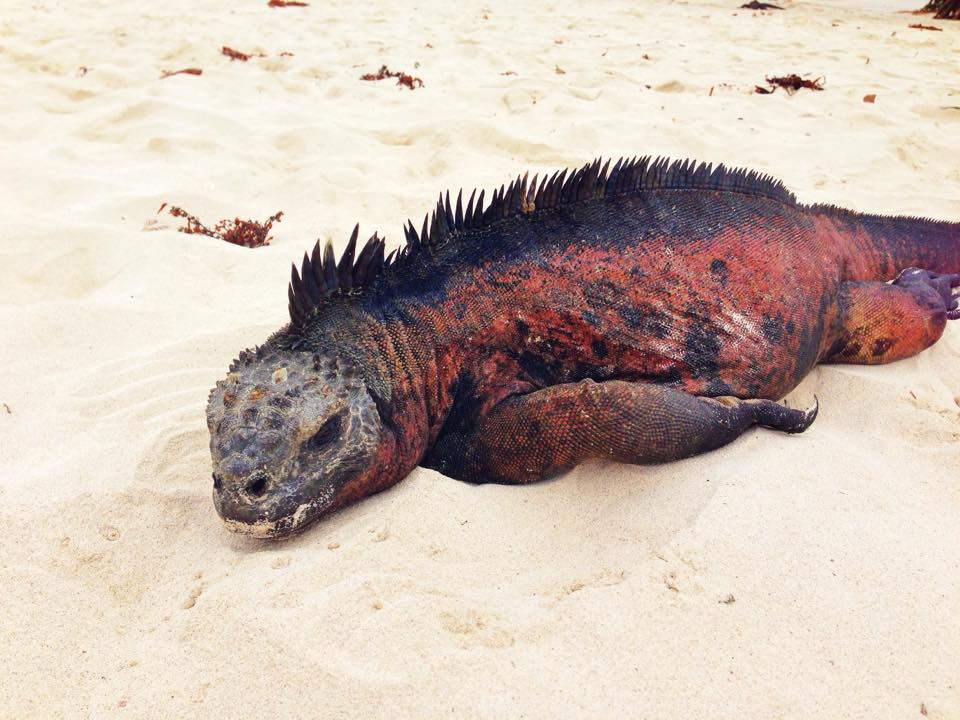 Marine iguana in sand