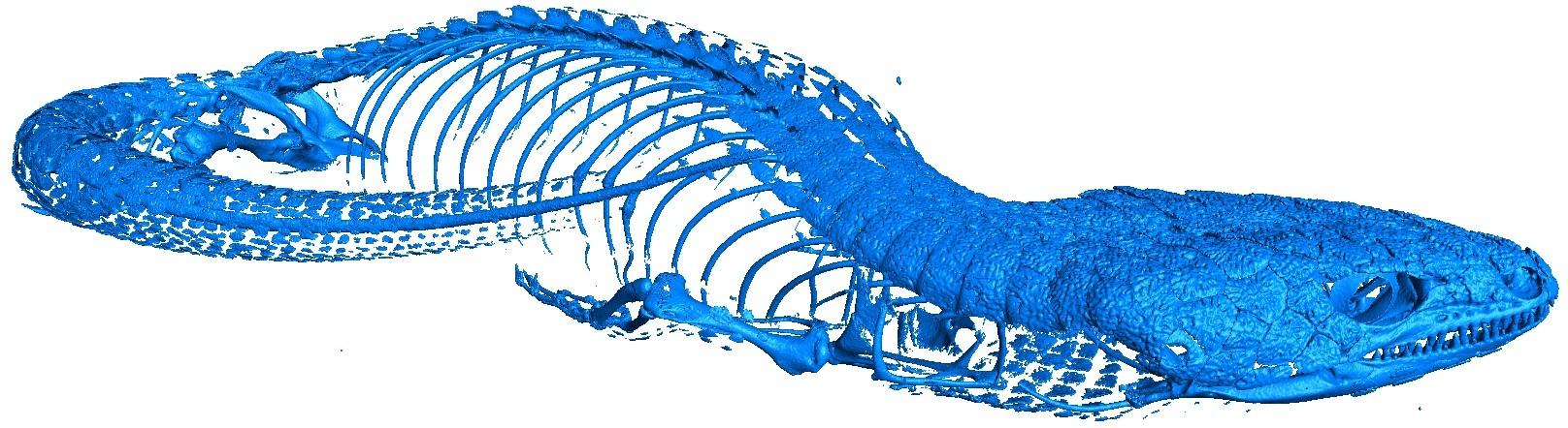CT scan of alligator lizard