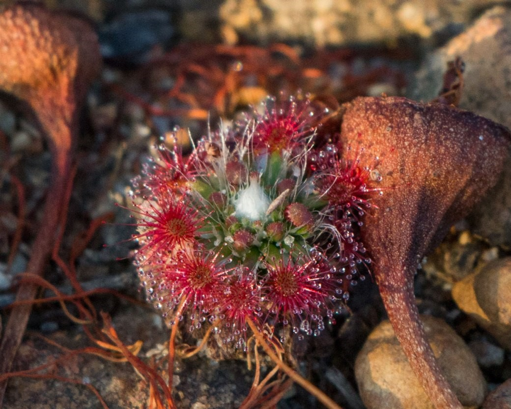 pygmy sundew plant in sand and pebbles