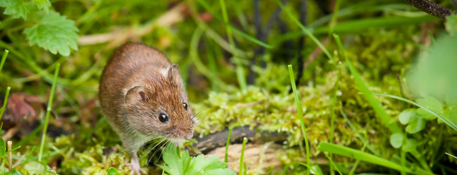 Small brown vole on the forest floor