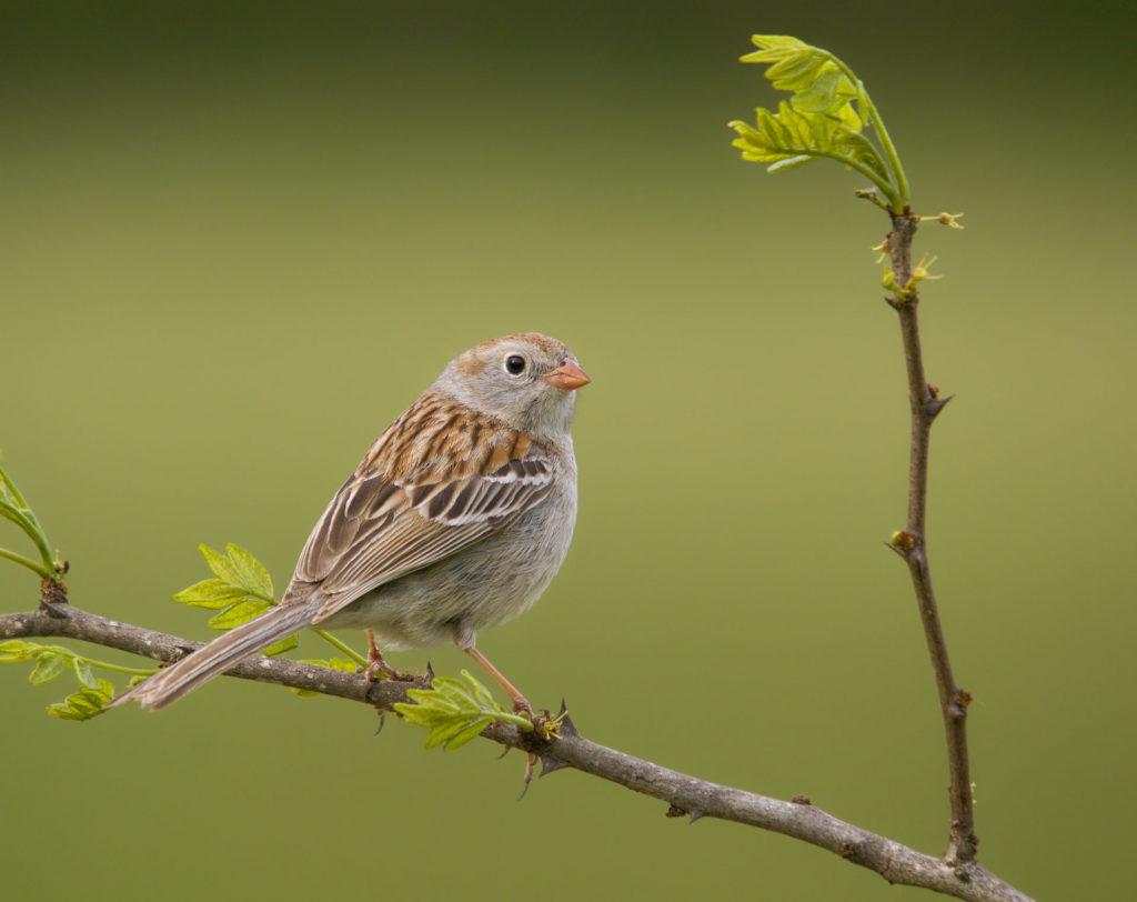 A brown field sparrow