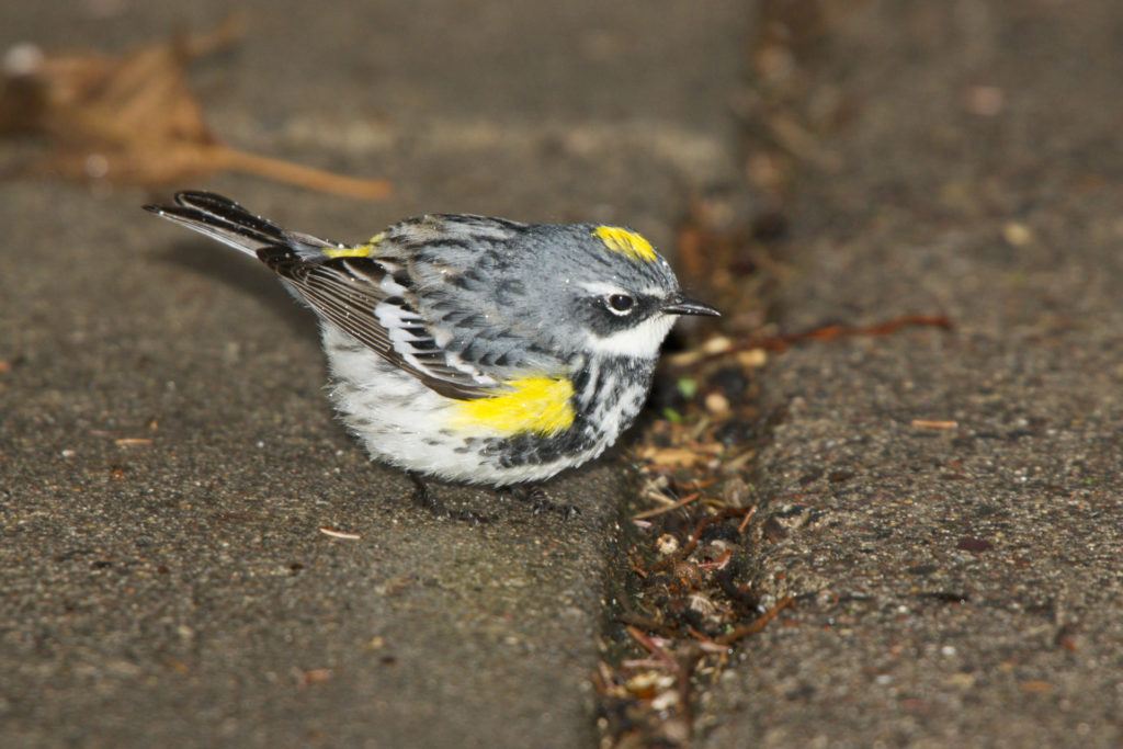 A yellow-jumped warbler