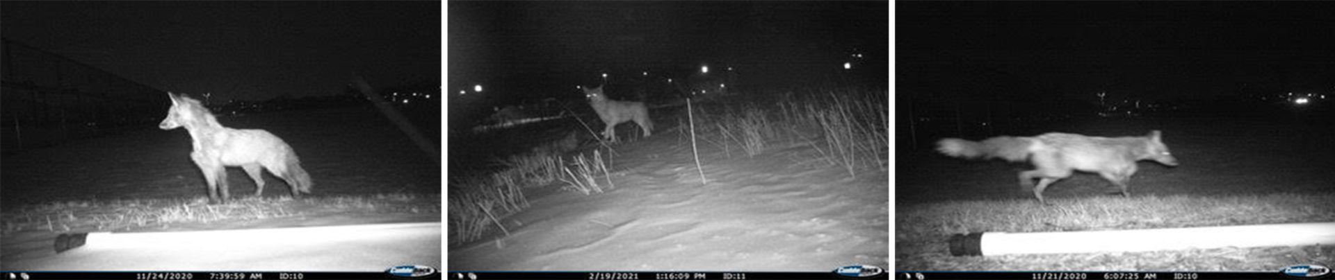 Fox images captured by night remote cameras