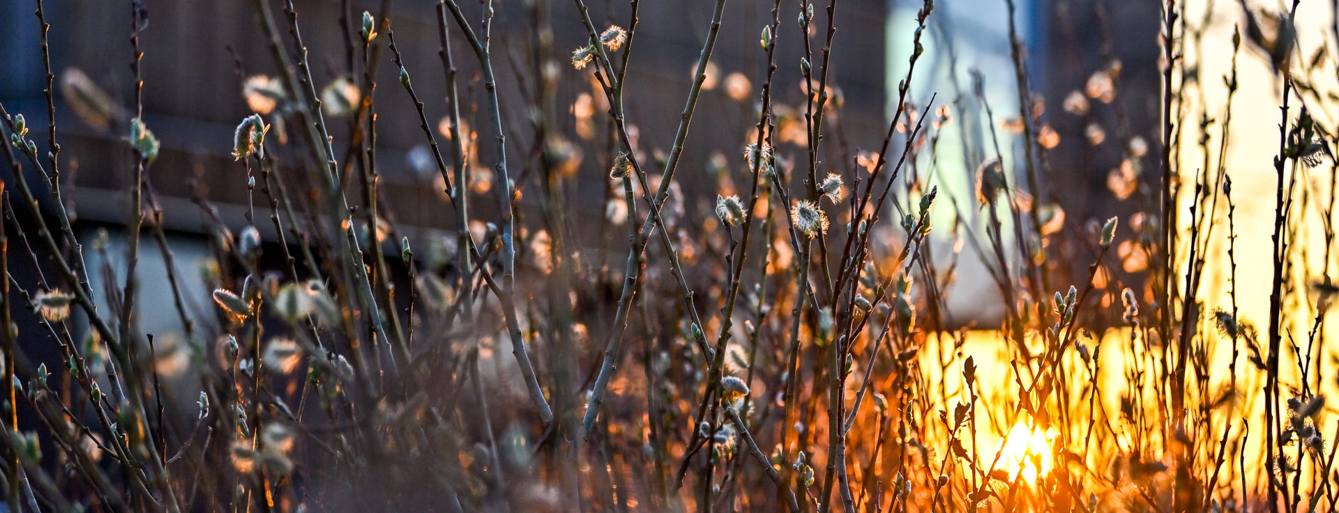 Early morning light comes through the plants near the Bell Museum's pond