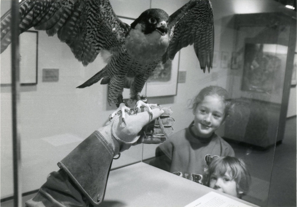 A child looking at a peregrine falcon