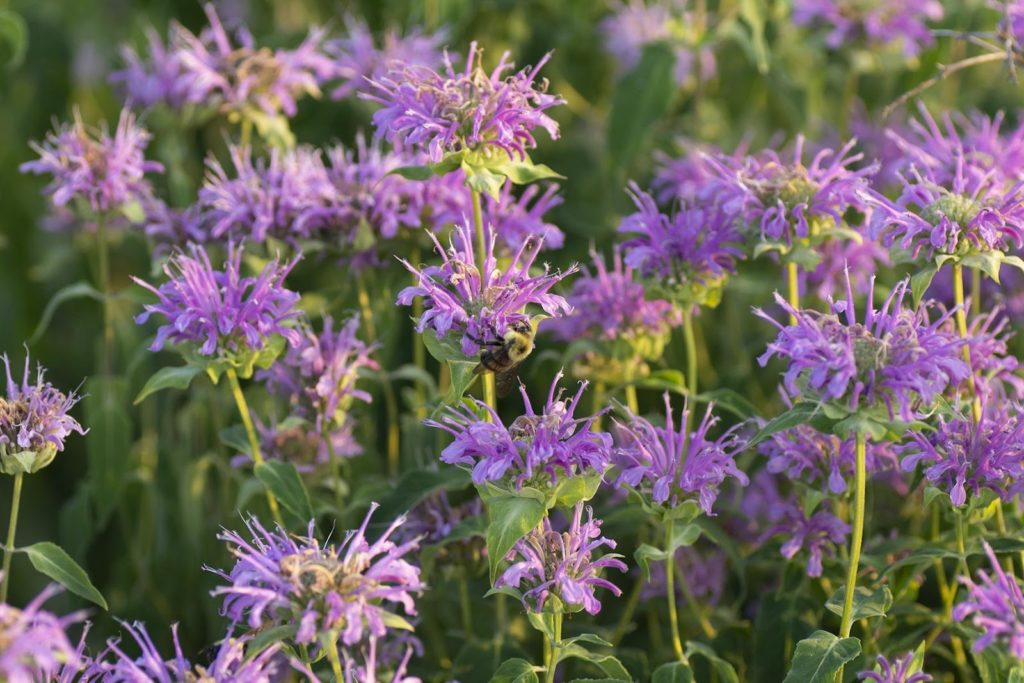 A patch of Beebalm (also known as Wild Bergamot) for bumble bee watching, featuring a Two-spotted bumble bee.