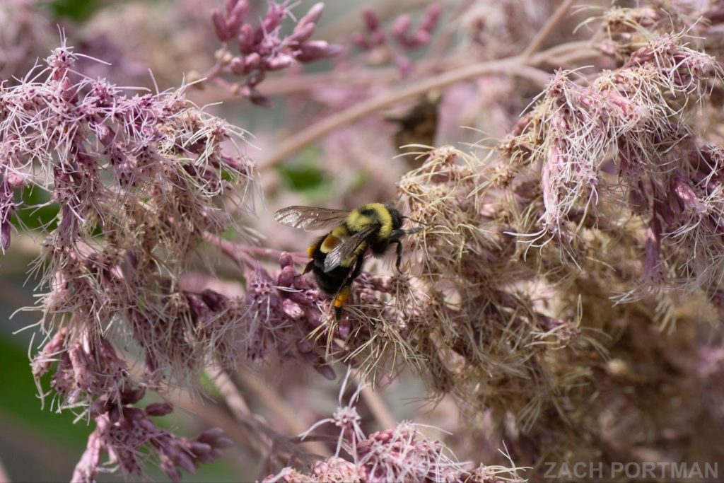 An endangered Rusty-patched bumble bee visiting Joe-Pye weed.