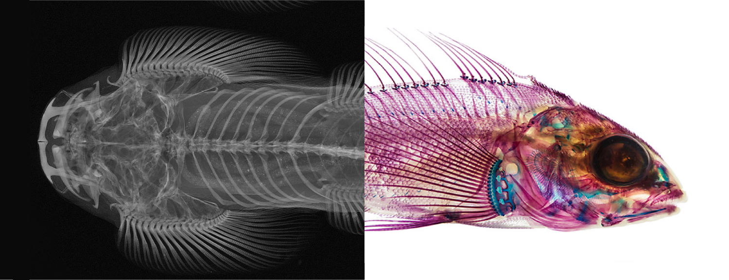 Two fish side by side, one is a radiograph of a fish skeleton and the other is a brightly colored and stained fish