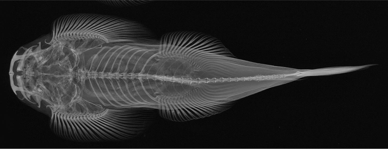 Radiograph of a large fish